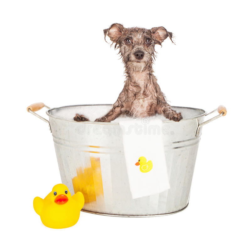 Scruffy Terrier in a Bath Tub. A mixed breed terrier dog with wet fur sitting in a steel bath tub with bubbles and a rubber duck royalty free stock images