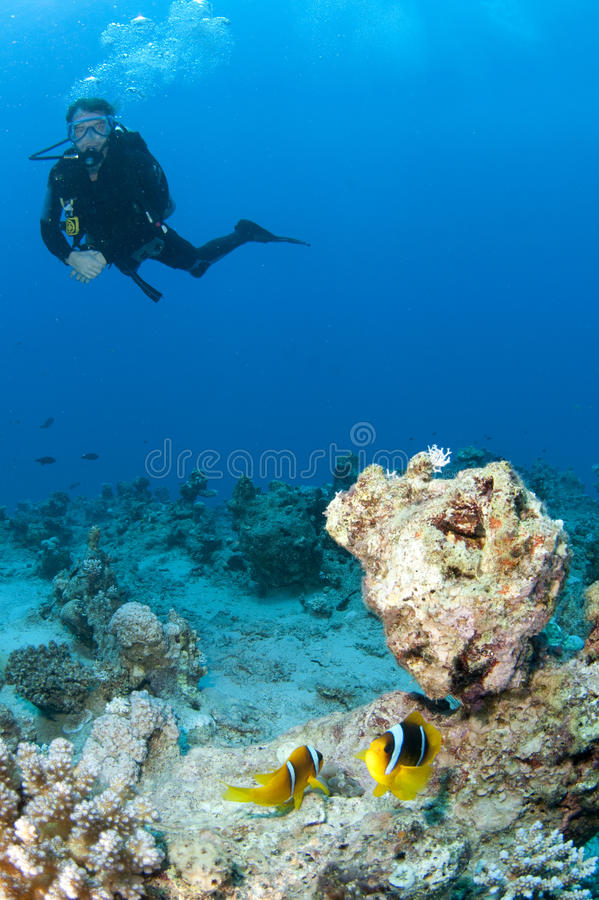 Scuba diver with anemone fish. Male scuba diver with red sea anemone fish stock images
