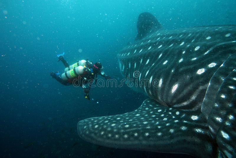 Scuba diver approaching whale shark in galapagos i stock image