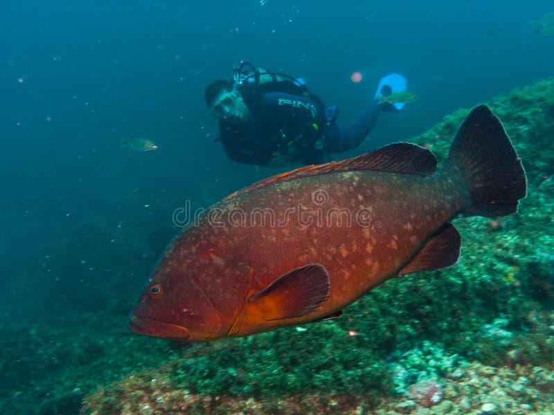 Scuba diver close to a big grouper stock images