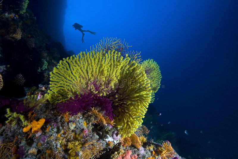 Scuba diver among reef. Scuba diver swimming among colorful coral reef royalty free stock photography