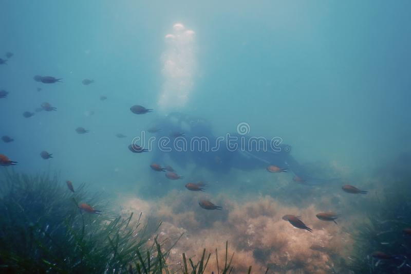 Scuba Diver Swimming Underwater Explores Reef and Examines Seabed. Wildlife stock photo