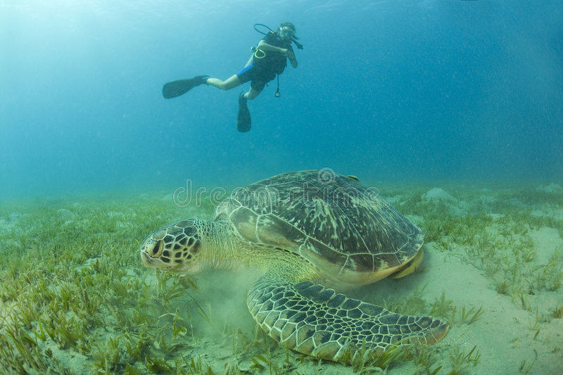 Scuba diver and turtle. A view from the bottom of the ocean of a scuba diver swimming with a huge turtle in the foreground stock photography