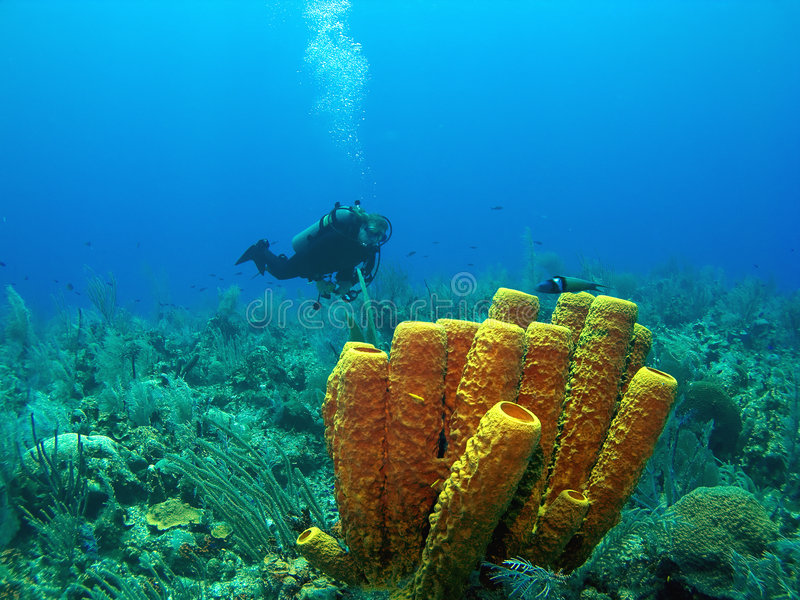 Scuba Diver and Yellow Tube Sponge. In Cayman Brac royalty free stock photos