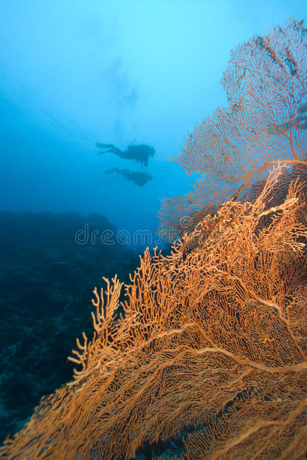 SCUBA divers and bright sea fan. A Pair of SCUBA Divers swim over a colorful coral reef and bright yellow sea fans royalty free stock photography