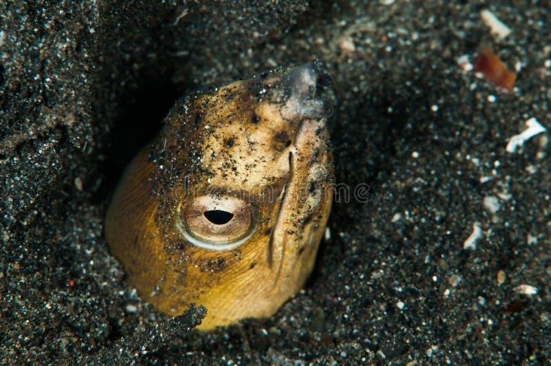 Scuba diving lembeh indonesia blacksaddle snake eel. Underwater diver royalty free stock photo