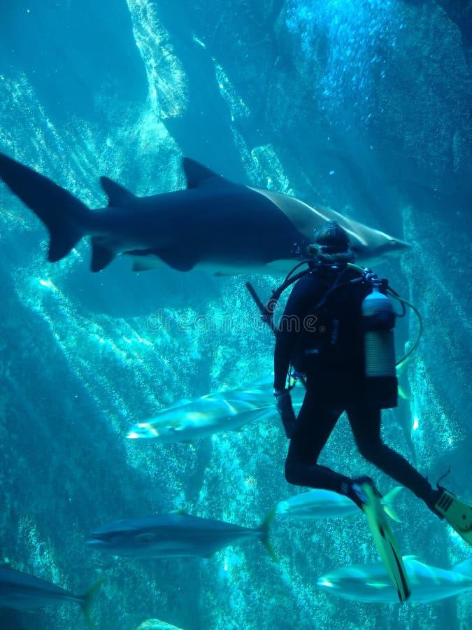 scuba-duiker en haai stock foto