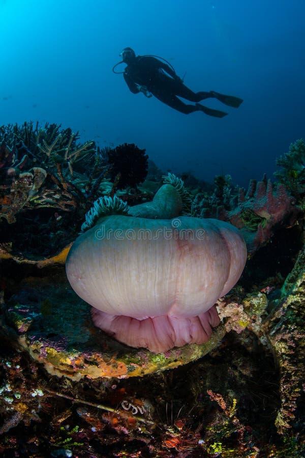 Scuba-duiker en Mooie Ertsader in Indonesië stock foto
