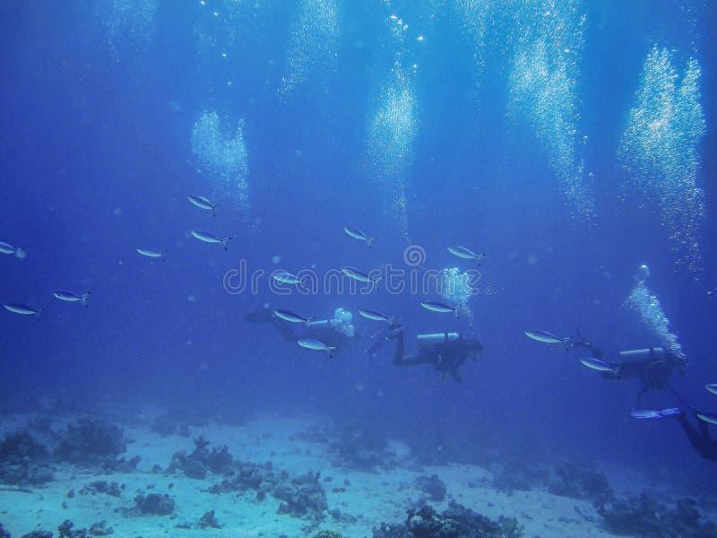 Scuba-duikers die Rode Overzees tussen troep van de blauwe vissen onderzoeken stock afbeeldingen