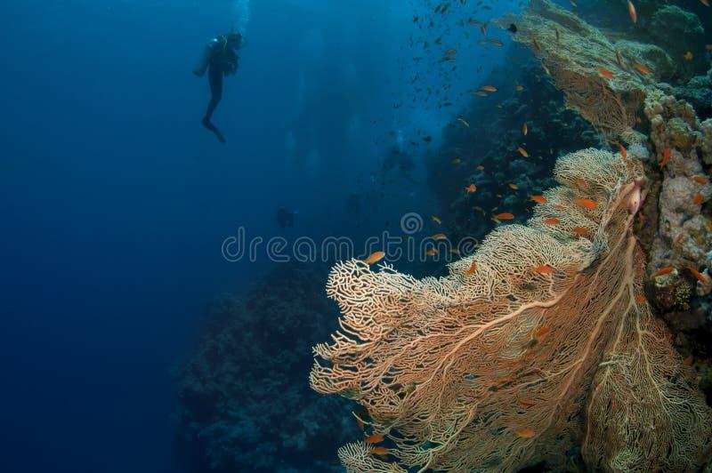 Scuba-duikers en koraal stock foto