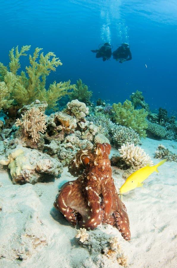Scuba-duikers en octopus stock foto