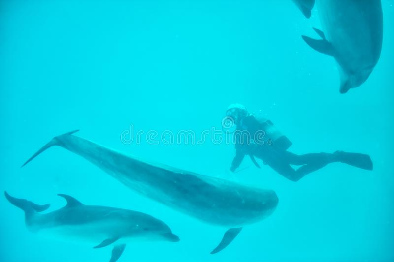 scuba man feed food to dolphins royalty free stock photography