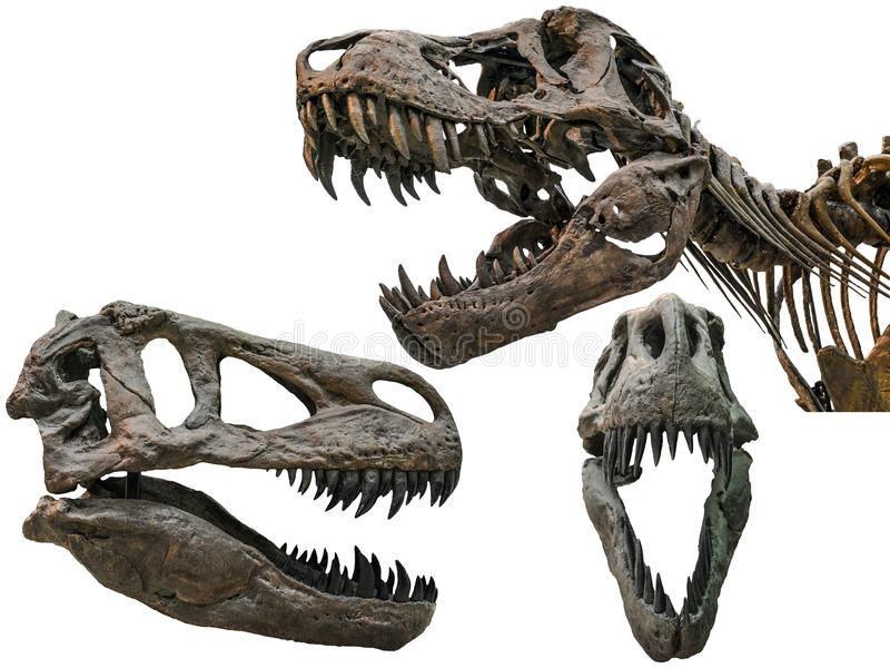 Scull del tiranosaurio imagen de archivo libre de regalías