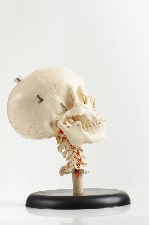 Scull humano - modelo foto de archivo libre de regalías