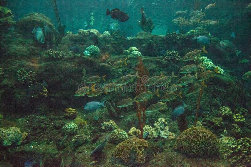 Scuola del haemulon sciurus a strisce blu del pesce di grugnito fotografia stock