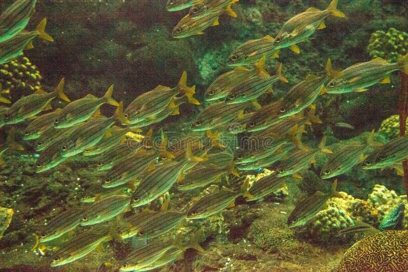 Scuola del haemulon sciurus a strisce blu del pesce di grugnito fotografia stock libera da diritti