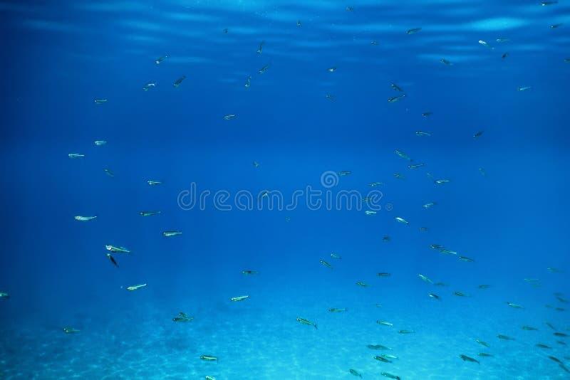 Scuola del pesce che nuota sopra il fondo della sabbia nel mare tropicale fotografia stock