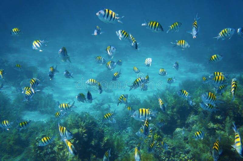 Scuola del pesce di maggiore di sergente nel mar dei Caraibi immagine stock libera da diritti