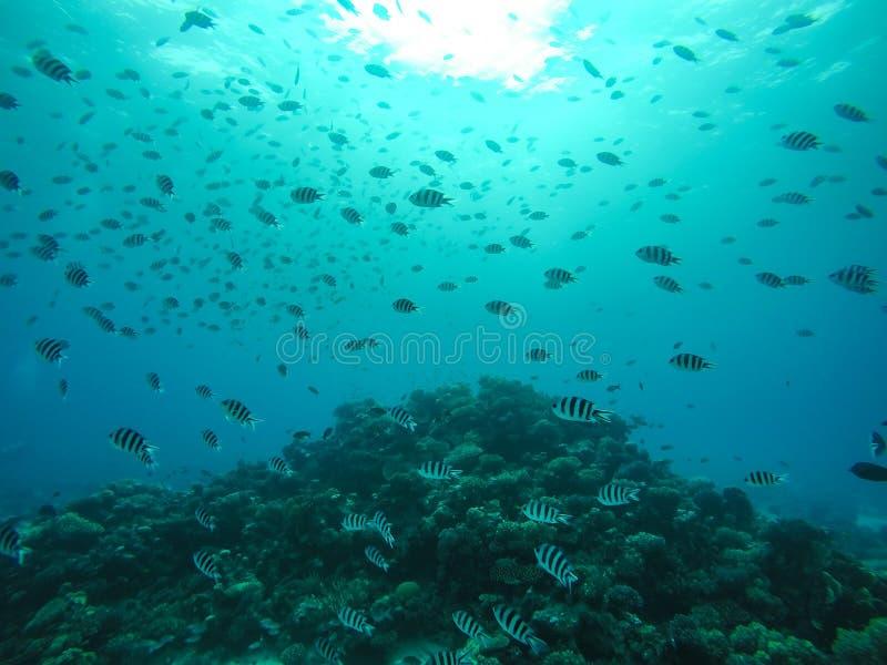 Scuola del pesce di sergente Major che nuota dentro intorno a Coral Reef nella E fotografia stock
