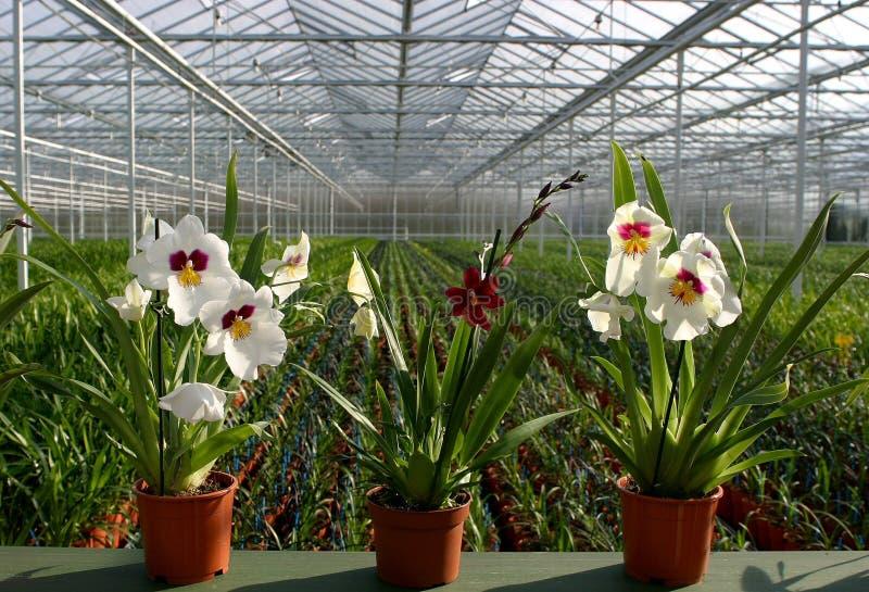 Scuola-orchidee della pianta fotografia stock