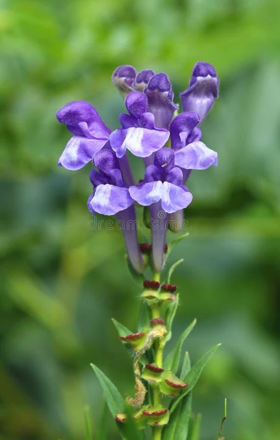 Scutellaria curativo Baicalensis fotografia stock libera da diritti
