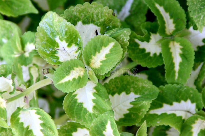 Scutellarioides de Plectranthus & x27; Feiticeiro Jade& x27; fotos de stock
