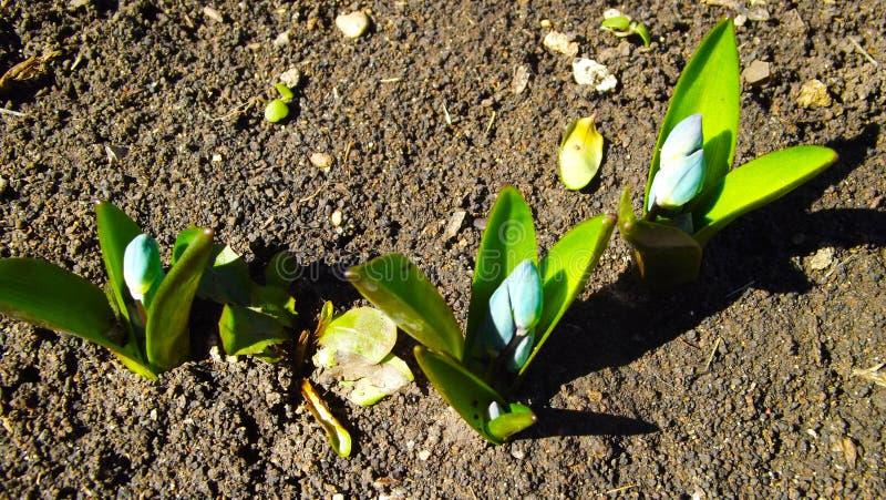 Scylla-` s im Garten lizenzfreie stockfotos