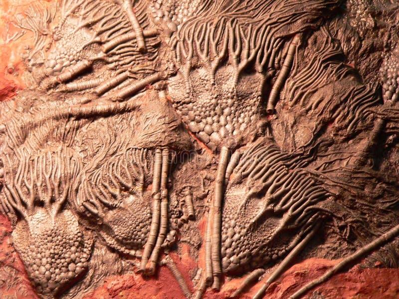 Scyphocrinites elegans Overzeese lelie, natuurlijk beeldhouwwerk stock afbeelding