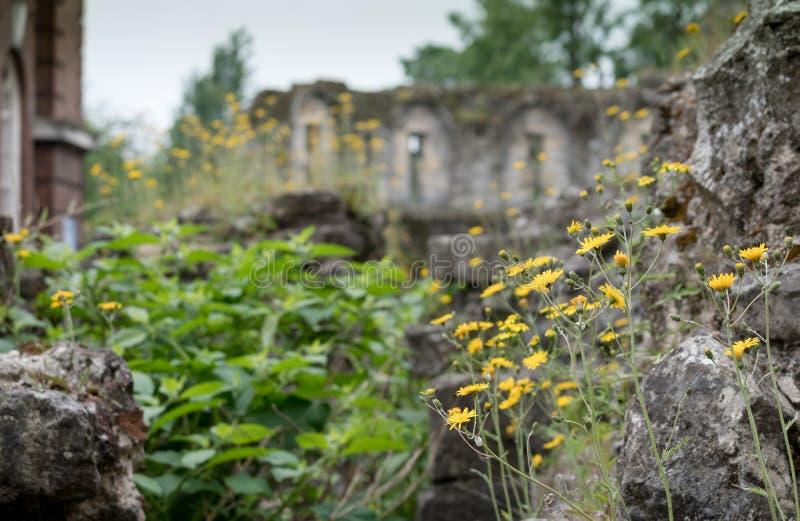 Seção da parede histórica em torno da cidade de York, Yorkshire, Reino Unido que mostra o crescimento de flores amarelo selvagem  imagem de stock royalty free