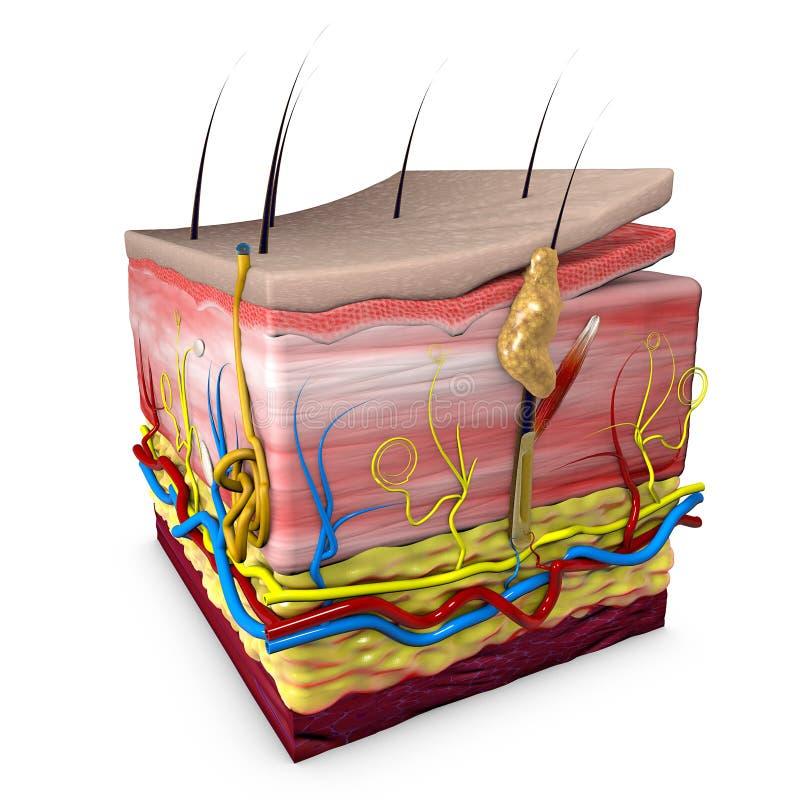 Seção da pele do corpo humano, anatomia, seção 3d da pele humana ilustração do vetor