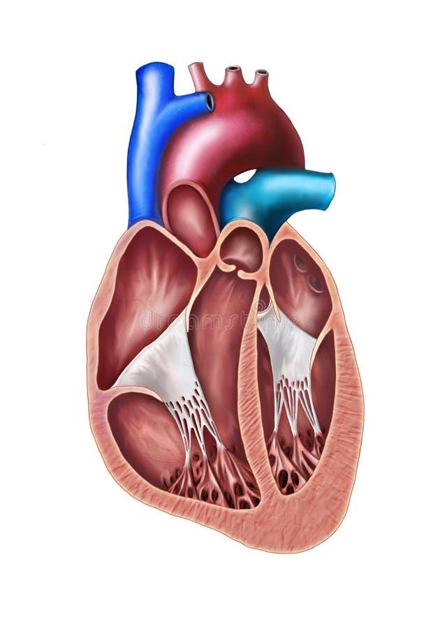 Seção do coração ilustração stock