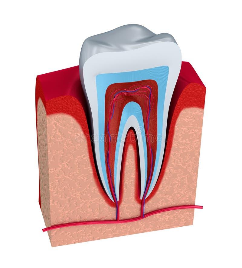 Seção do dente polpa com nervos e vasos sanguíneos ilustração do vetor