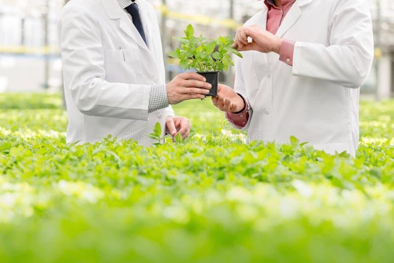Seção média de botânicos do sexo masculino discutindo sobre a muda enquanto se encontram em viveiro de plantas foto de stock royalty free