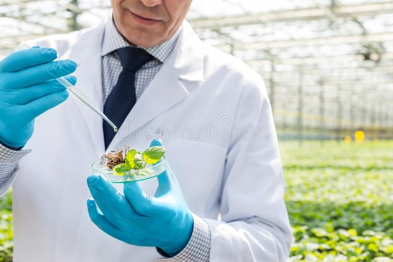 Seção mestra do bioquímico masculino que usa a pipeta na plântula no prato de petri na estufa imagens de stock royalty free