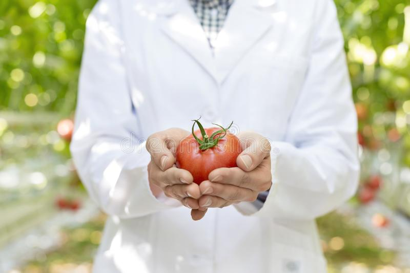 Seção mestra do cientista que guarda o tomate orgânico fresco na estufa imagens de stock royalty free