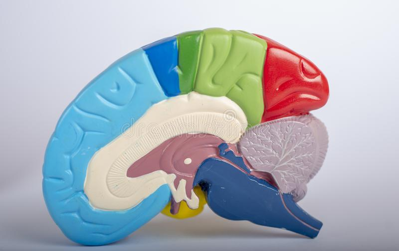 Seção transversal colorido do cérebro humano fotos de stock