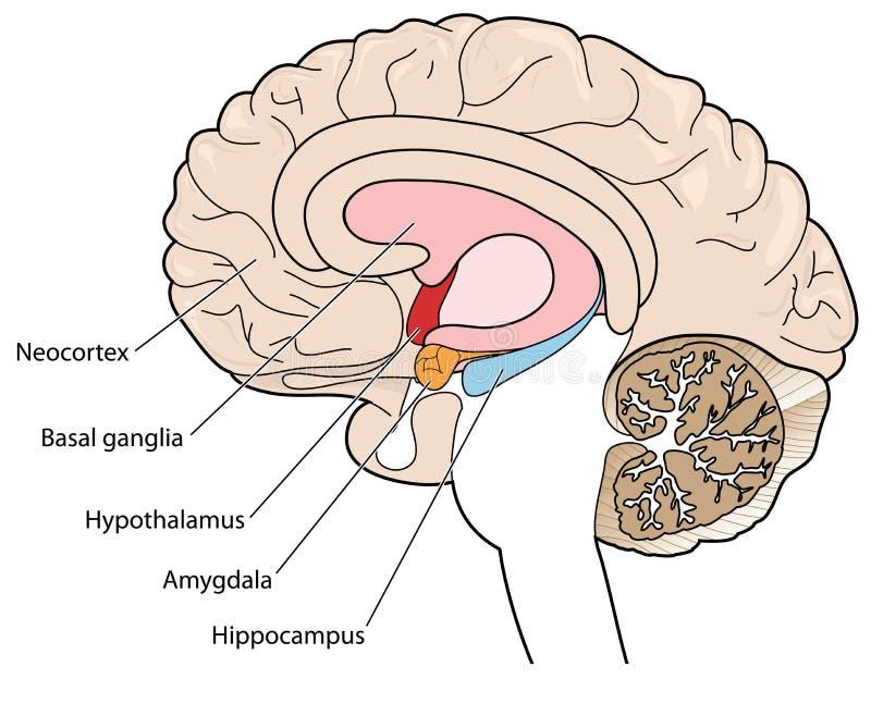 Seção transversal do cérebro que mostra os gânglio básicos e o hipotálamo ilustração royalty free