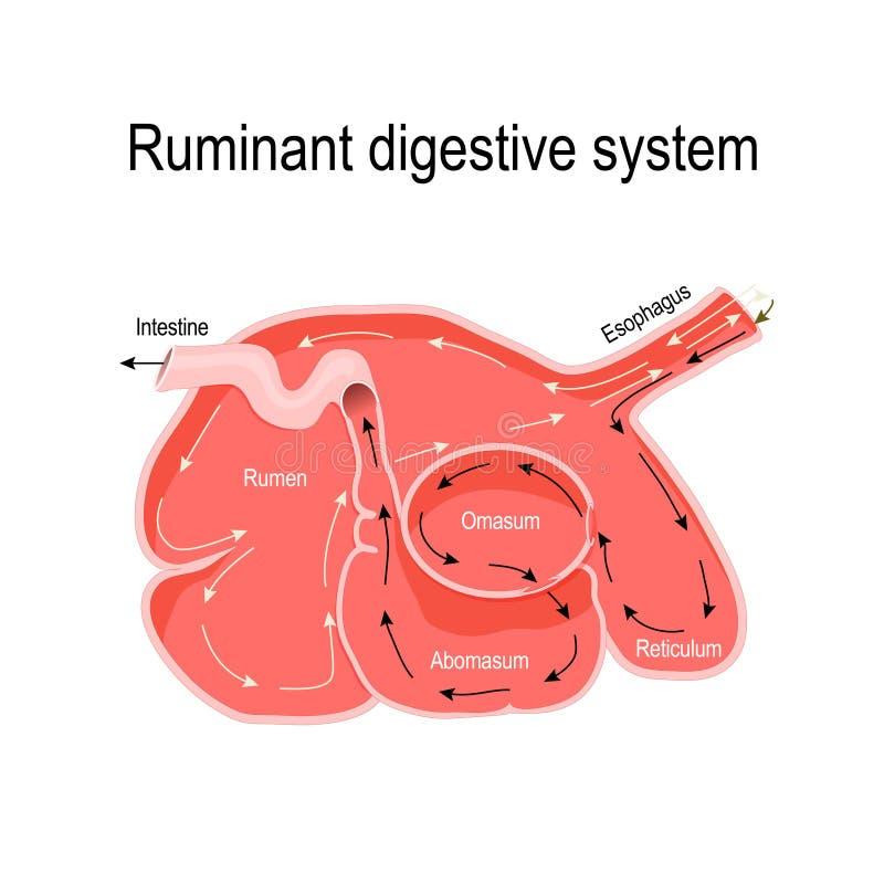Seção transversal do estômago do ruminante ilustração stock