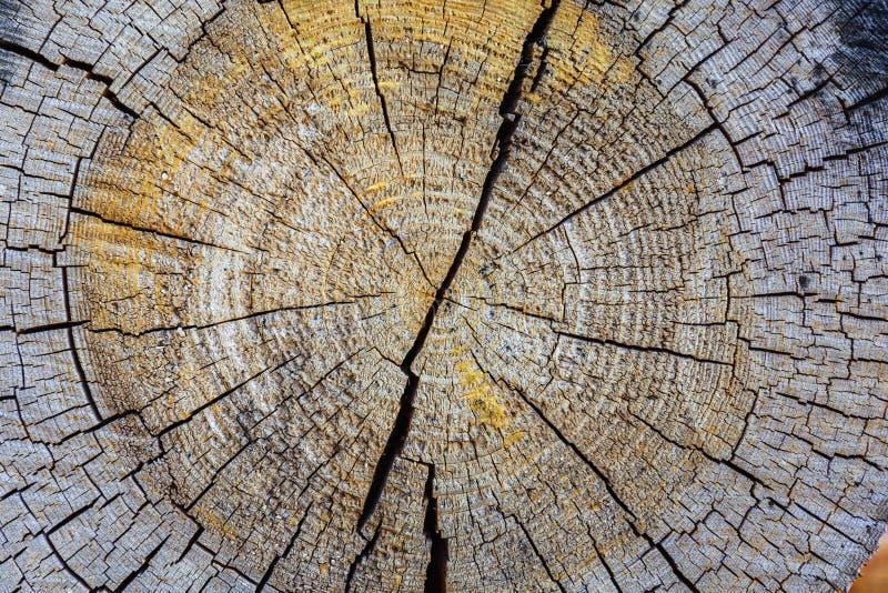 Seção transversal do tronco de árvore que mostra anéis de crescimento, textura da madeira do fundo imagem de stock