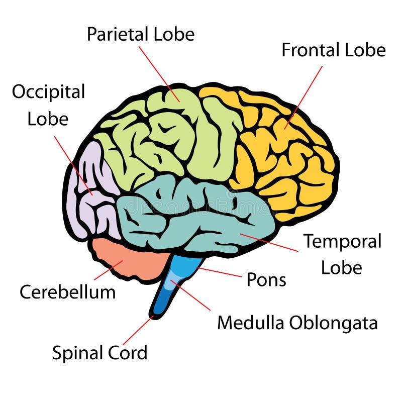 Seções do cérebro ilustração royalty free