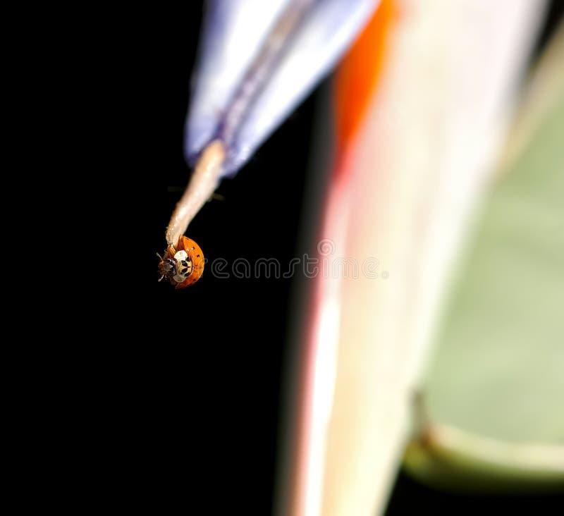 Señora Bug - caída adentro allí imágenes de archivo libres de regalías