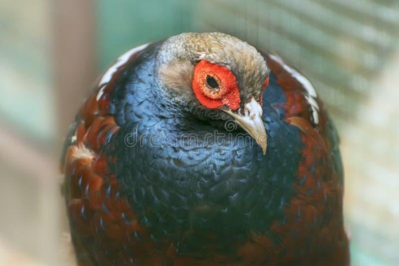 señora El faisán de Hume, humiae de Syrmaticus, el faisán de Hume, faisán barra-atado Pájaro tropical exótico Cierre para arriba fotos de archivo libres de regalías