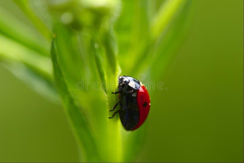 Señora-escarabajo fotografía de archivo