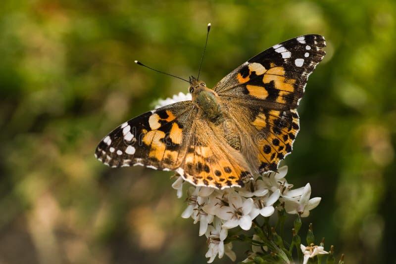 Señora pintada mariposa en lisimaquia de cuello de cisne fotografía de archivo libre de regalías