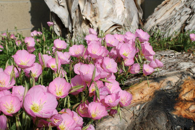 Señoras rosadas todas en fila fotografía de archivo libre de regalías