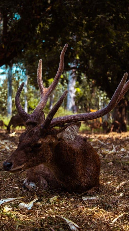 Se agota un ciervo fotografía de archivo libre de regalías