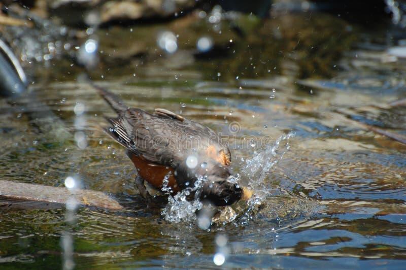 Se baigner américain d'oiseau de Robin images libres de droits