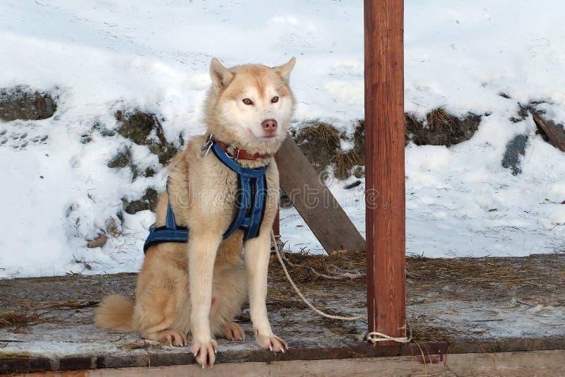 Se divierte el perro rojo del perro esquimal del trineo fotos de archivo