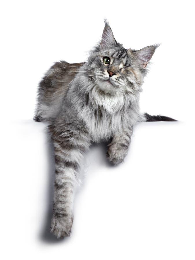 Se eyed o gato de prata de Maine Coon do tortie no branco foto de stock