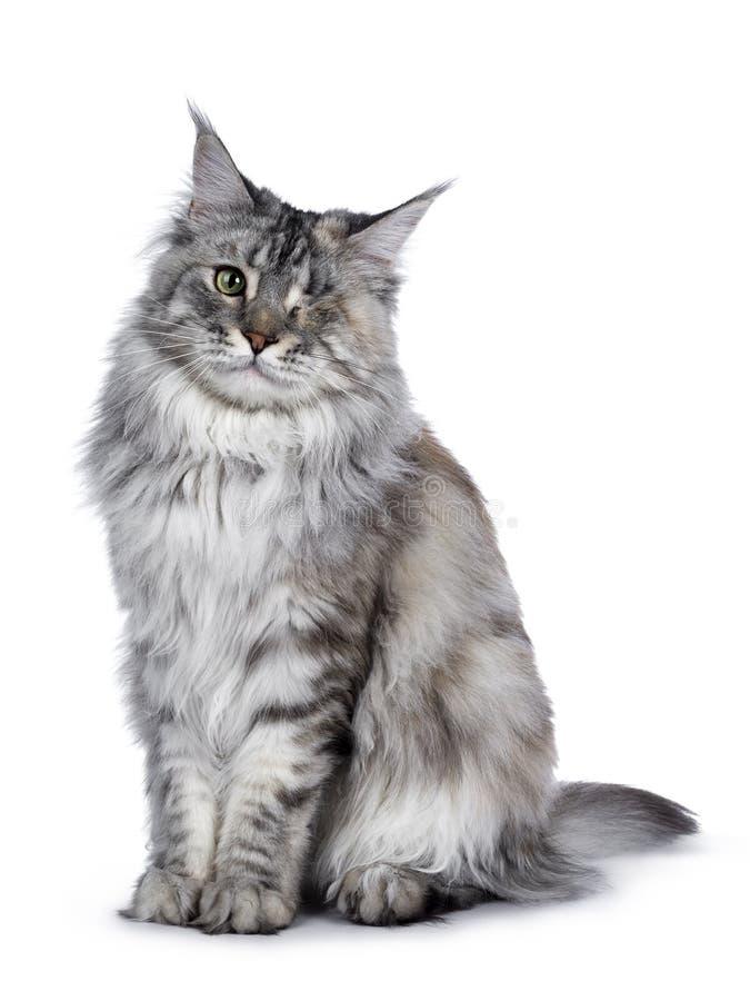 Se eyed o gato de prata de Maine Coon do tortie no branco imagem de stock